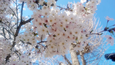 近所の桜を見に行く!2020
